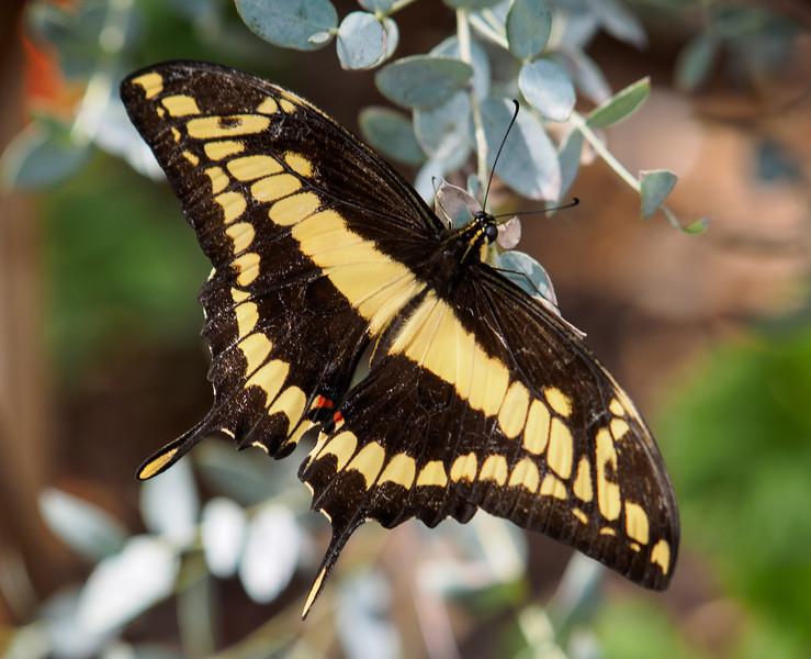 Giant Swallowtail - Butterfly Wonderland - 28 Mar 2014