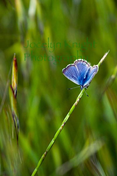 California Ringlet Butterfly7326