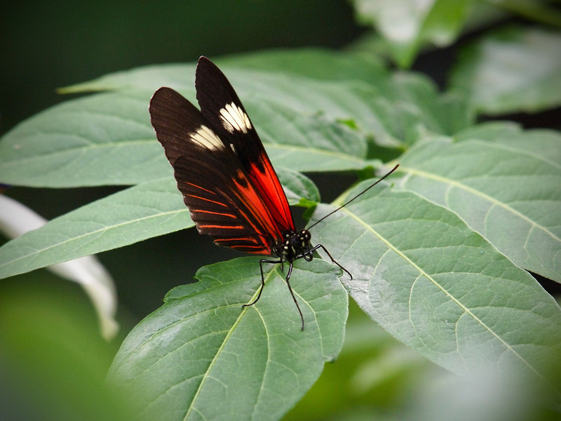 Red Postman (H. Melpomene Madeira) at The Butterfly Place - 29 Mar 2011