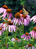 Eastern Swallowtail on Coneflower<br /> Evansville, IN<br /> © WEOttinger, The Wildflower Hunter - All rights reserved<br /> For educational use only - this image, or derivative works, can not be used, published, distributed or sold without written permission of the owner.