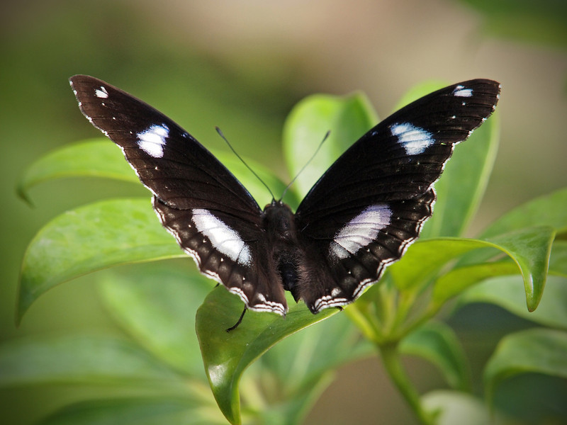 Great Eggfly (male) at The Butterfly Place - 29 Mar 2011
