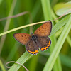 Bronze Copper - July 23, 2011 - Ottawa National Wildlife Refuge