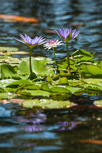 Purple water flowers.