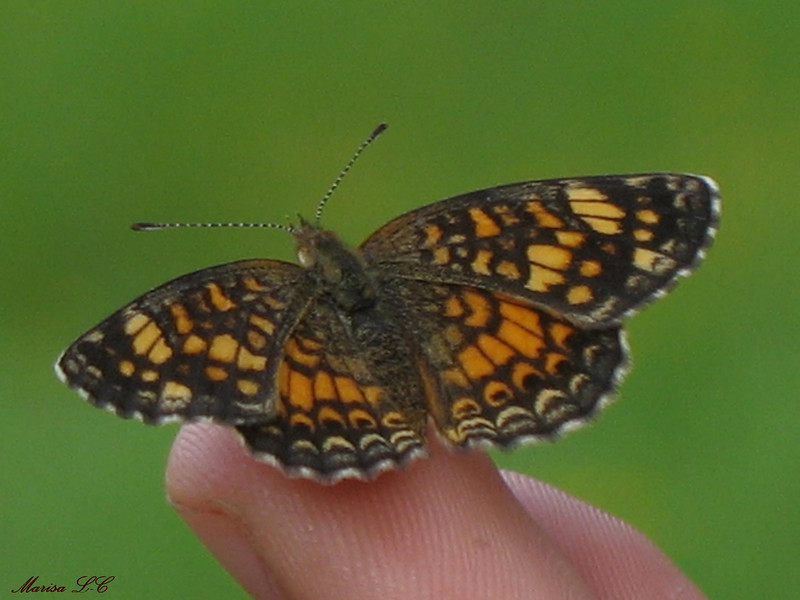 Checkerspot Silvery