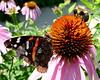 Butterfly - Red Admiral (Vanessa atalanta) - Photo Taken: July 13, 2014