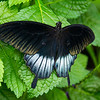 Low's Swallowtail, or Papilio lowii