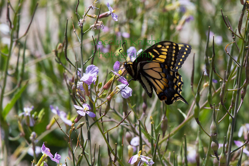 Swallowtail7639