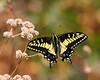 Tiger Swallowtail Sunning