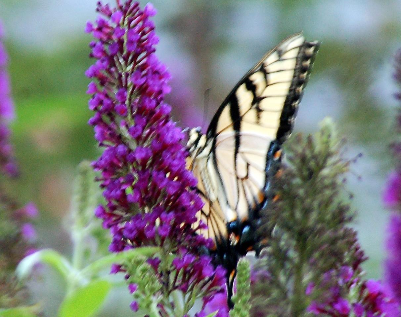 Backyard Butterfly 7-08-39