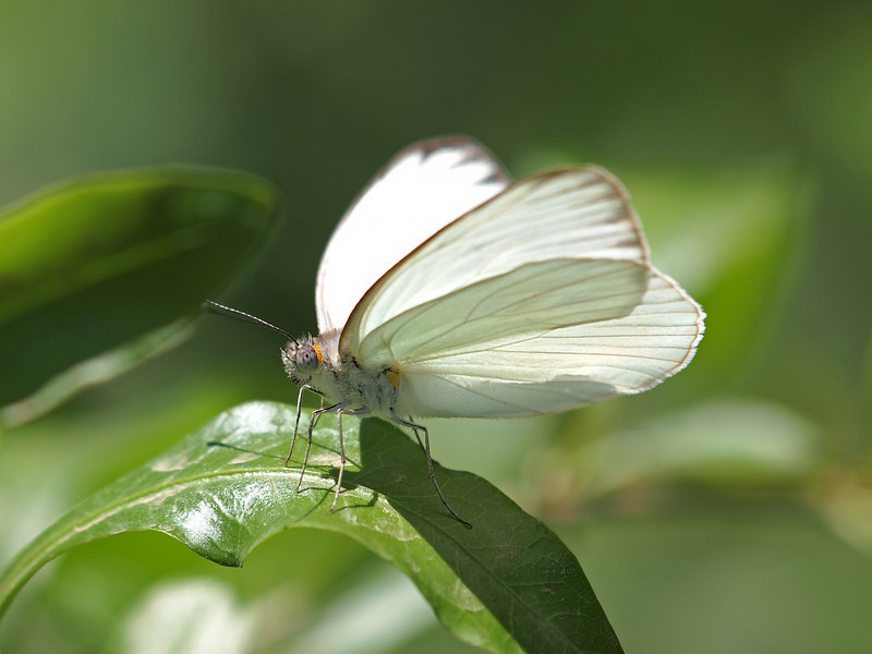 Great Southern White at Pavilion of Wings - 15 May 2011