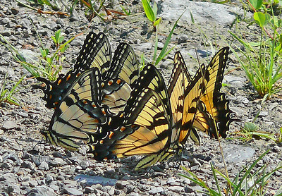 Ponding Eastern Tiger Swallowtails