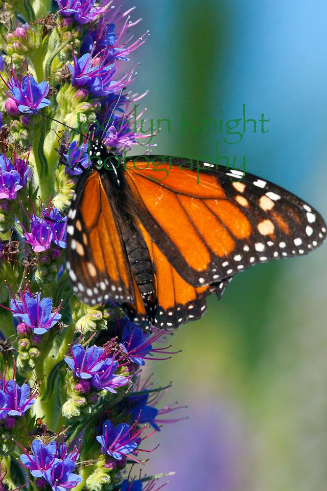 Monarch6916