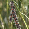 Mourning Cloak Caterpillar at Pavilion of Wings - 27 June 2010
