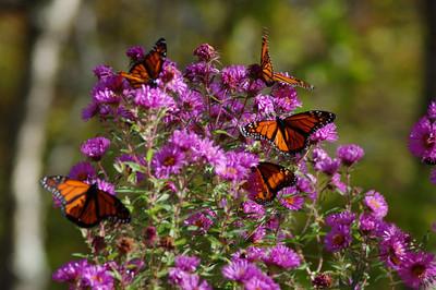 Butterflies_2006-10-08_44