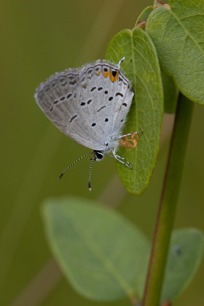 Eastern Tailed Blue - Everes comyntas - August 2008