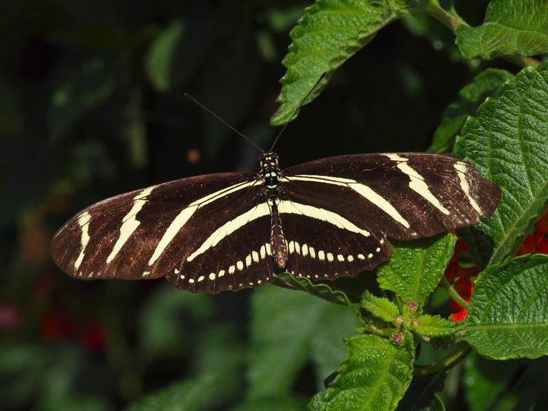 Zebra Longwing at Butterfly Jungle - 24 Apr 2010