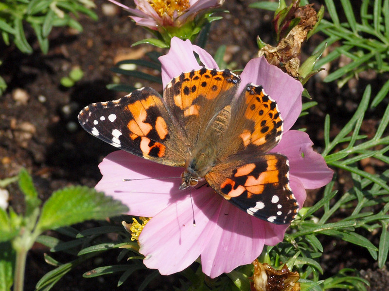 Painted Lady at Pavilion of Wings - 24 Apr 2010