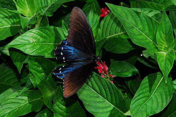 Pipevine Swallowtail Butterfly - Battus philenor
