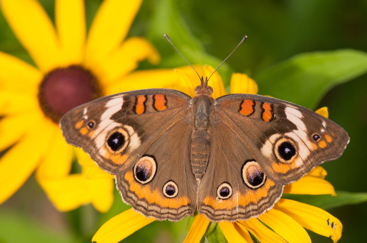 Buckeye Butterfly (13)