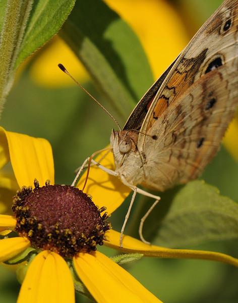 Buckeye Butterfly (5)