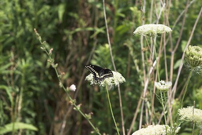 Swallowtail and Queen Anne's Lace