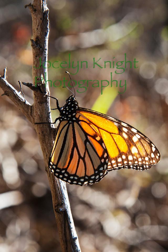 Monarch1018