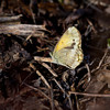 Dainty Sulphur - May 6, 2012