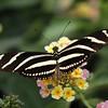 Zebra Longwing at Butterfly Jungle - 11 Apr 2010
