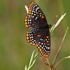 Baltimore Checkerspot - Oak Openings - June 18, 2011
