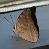 One-spotted Prepona at Cockrell Butterfly Center - 30 Oct 2011
