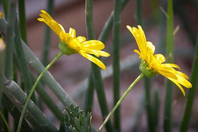 Yellow desert daisies leaning towards the light.