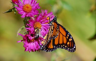 Butterflies_2006-10-08_8