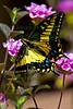 Swallowtail9314