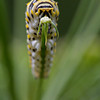 Black Swallowtail caterpillar - September 2010