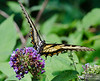 20130817_Butterflies_111-Edit
