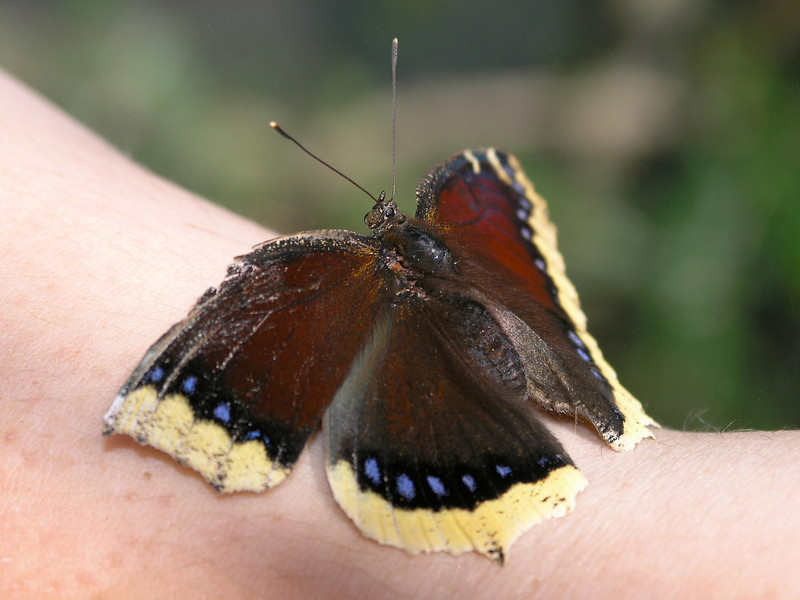 Mourning Cloak at Pavilion of Wings - 16 Apr 2005