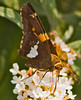 Silver-spotted Skipper {Epargyreus clarus} on White Butterfly Bush<br /> Allentown, PA<br /> © WEOttinger, The Wildflower Hunter - All rights reserved<br /> For educational use only - this image, or derivative works, can not be used, published, distributed or sold without written permission of the owner.