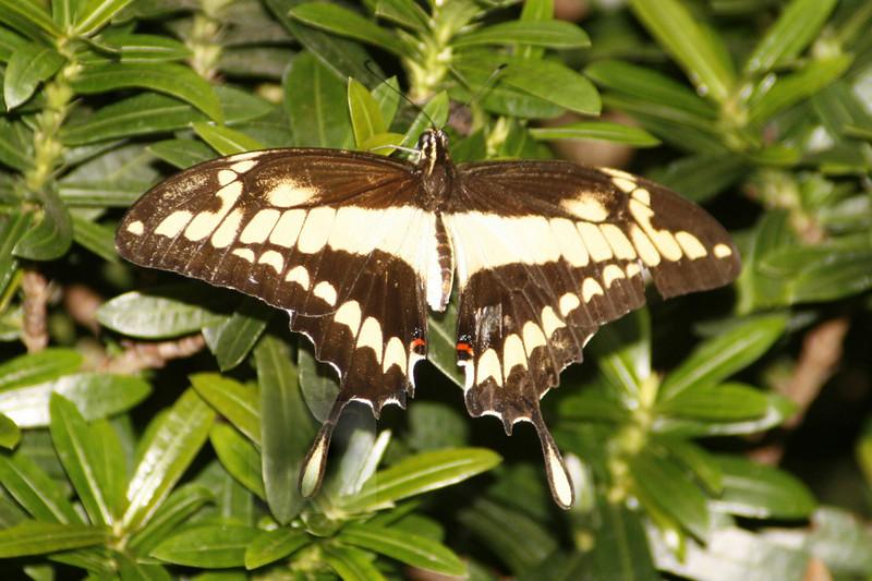 Giant Swallowtail, Papilio thoas