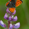 American Copper on Lupine - May 2011