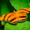 Orange Barred Tiger - Butterfly Wonderland - 20 Nov 2020