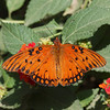 Gulf Fritillary (male) at Pavilion of Wings - 27 June 2010