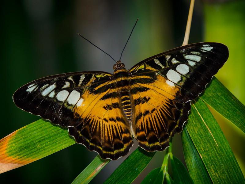 Brown Clipper - Butterfly Wonderland - 20 Nov 2020