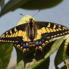 Anise Swallowtail at Pavilion of Wings - 27 June 2010