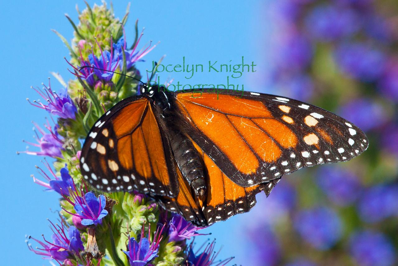 Monarch6921