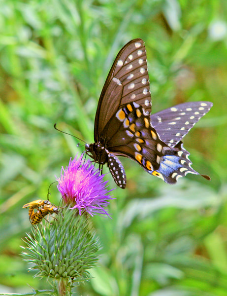 Black Swallowtail and Pennsylvania leather-wings on Thistle<br /> Madison, WI<br /> © WEOttinger, The Wildflower Hunter - All rights reserved<br /> For educational use only - this image, or derivative works, can not be used, published, distributed or sold without written permission of the owner.