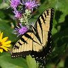 Eastern Tiger Swallowtail - August 2006 - Oak Openings Metropark
