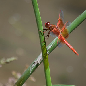 Red dragonfly on stem.