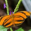 Banded Orange, or Dryadula phaetusa