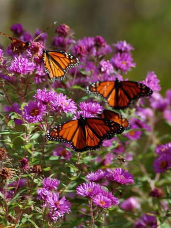 Butterflies_2006-10-08_41