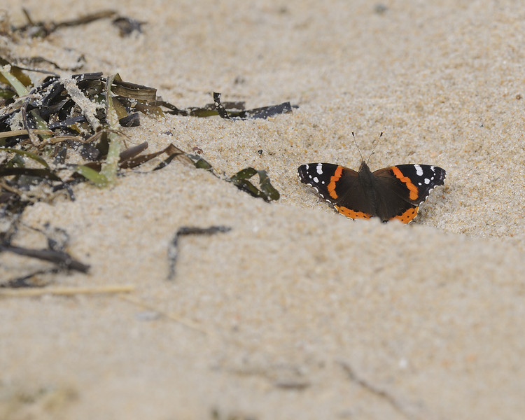 Ninigret Conservation Area - Butterfly on Beach